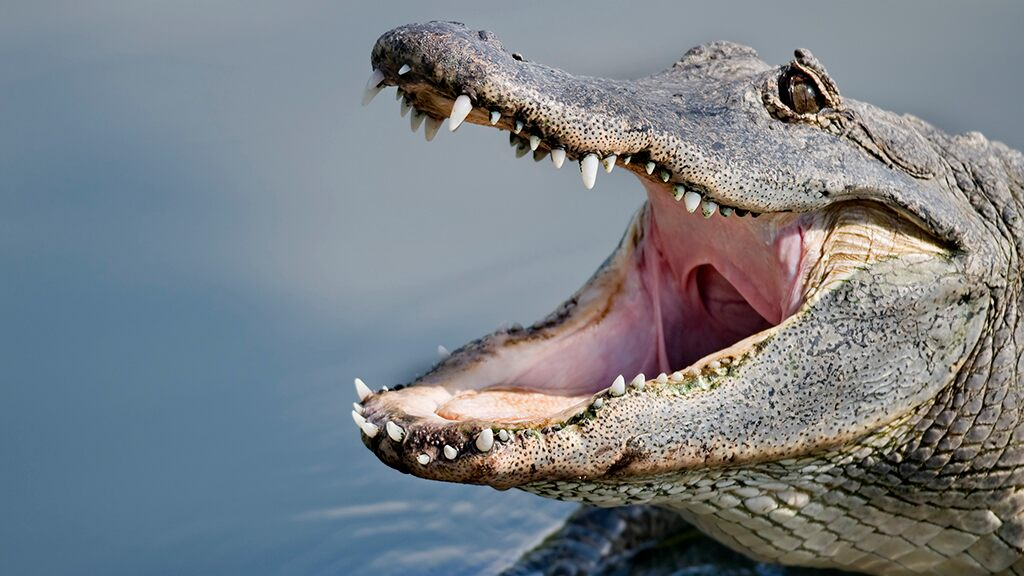 Florida man attacked by large alligator airlifted to hospital with 'substantial injury,' authorities say