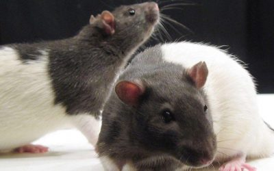 Study Funded by Chan Zuckerberg Initiative has Male Rats Give Birth